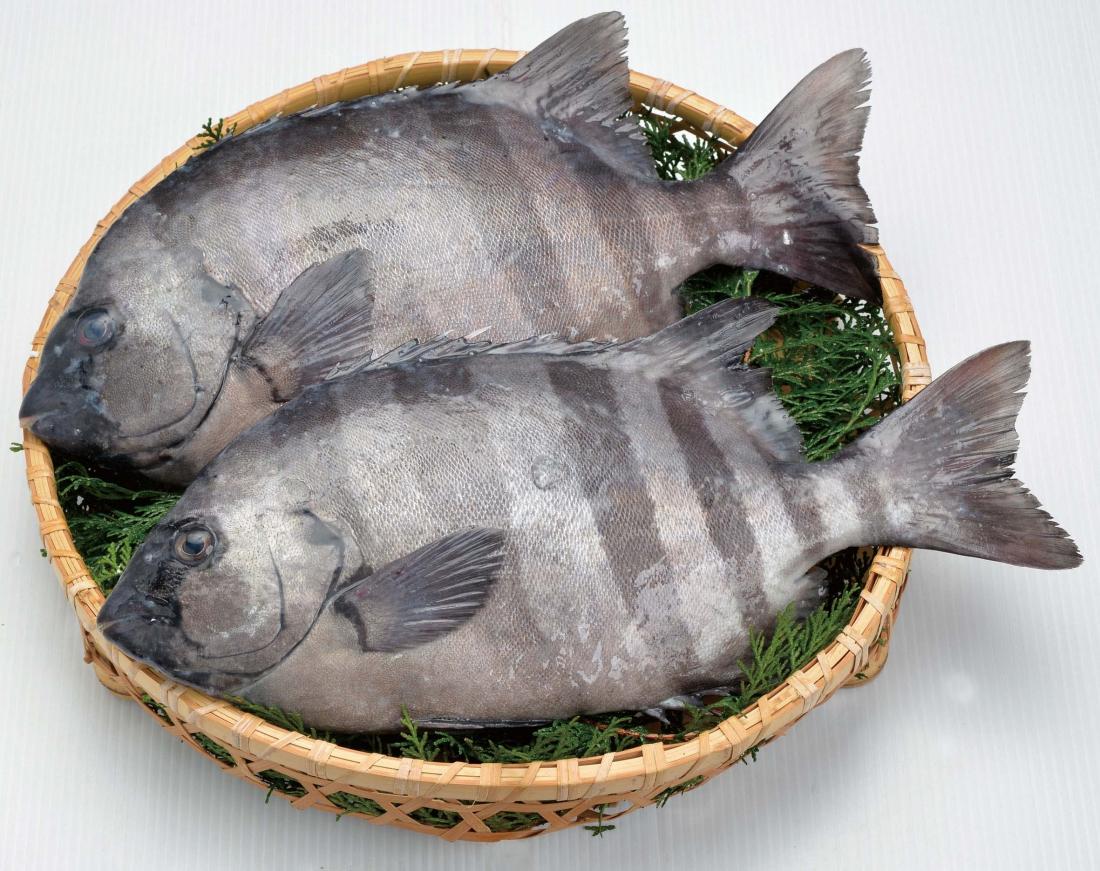 小田原四季の代表魚(冬)イシダイ