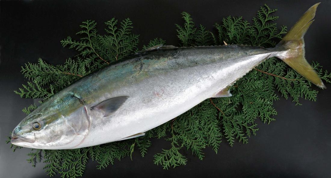 小田原四季の代表魚(春)ブリ