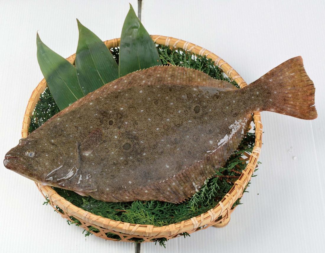 小田原四季の代表魚(冬)ヒラメ