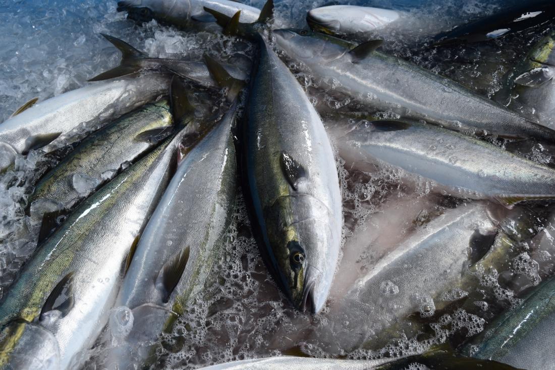 小田原四季の代表魚「ワラサ・ブリ」
